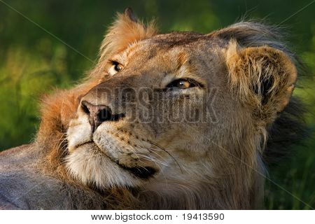 Lion; male; panthera leo; South Africa