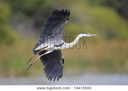 Grey Heron; Ardea Cinerea; South Africa
