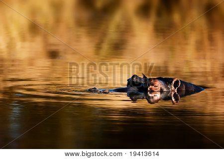 Hippopotamus amphibius; South Africa