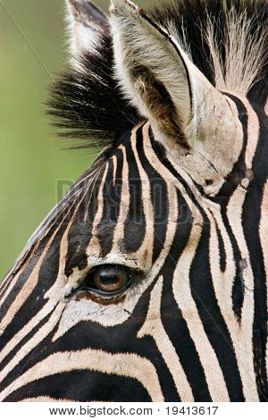 Burchell's zebra; Equus burchelli; South Africa