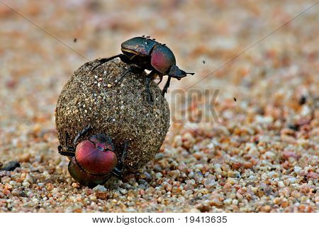 Beetles rolling a ball of dung; South Africa