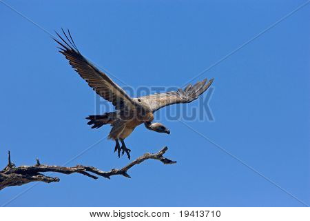 Whitebacked Vulture flying down from tree; Gyps Africanus; South Africa