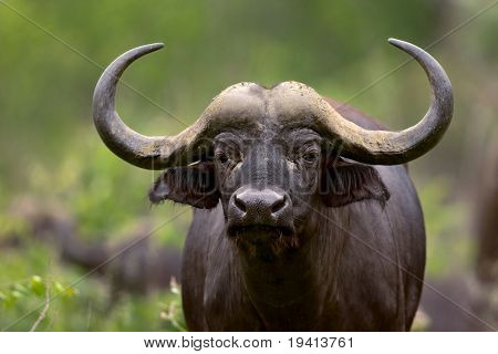 African buffalo; Syncerus caffer; South Africa