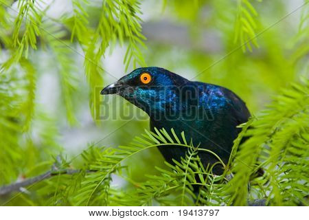 Glossy Starling; Lamprotornis Nitens; South Africa