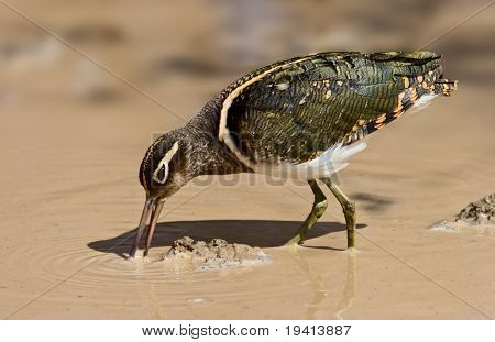 Greater Painted Snipe feeding in shallow water; Rostratula benghalensis