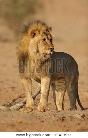 Male lion standing at waterhole; panthera leo; Kalahari desert; South Africa