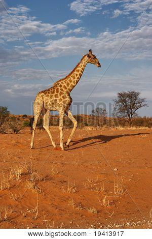 Jirafa; Giraffa Camelopardalis; Sudáfrica; Desierto de Kalahari