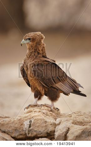Juvenile Bateleur sitting on rocks; Terathopius Ecaudatus; South Africa; Kalahari desert