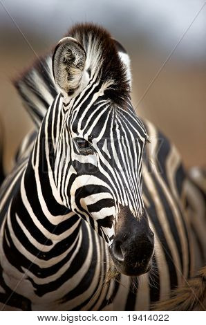 Portrait of a Burchell's zebra; Equus burchelli; South Africa