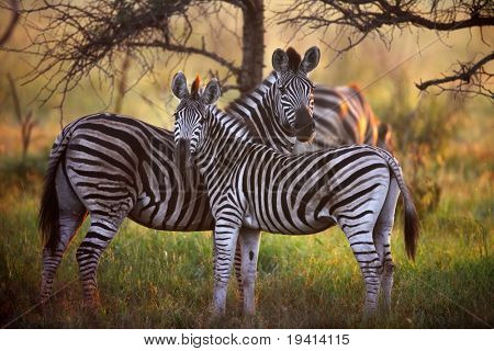 Zebra's in the bush with first rays of sunlight ; Equus burchelli
