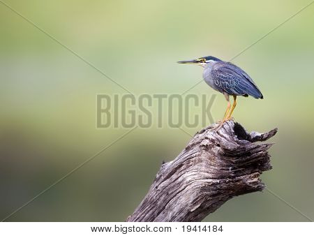 Greenbacked Heron perched on old log; Butorides Striatus
