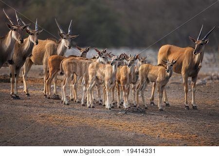 Eland herd with lots of calves standing in the middle;  Etosha