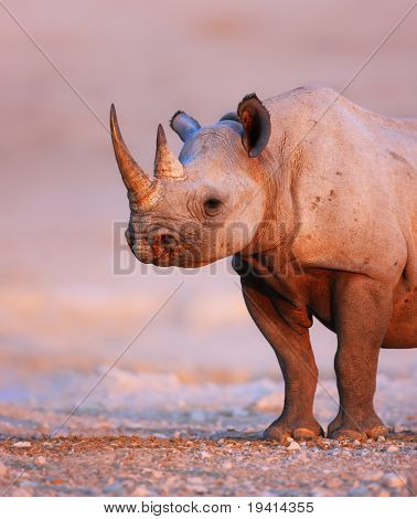 Black Rhinoceros standing on salty plains of Etosha at last light of day