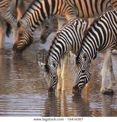 Um grupo de Zebras beber em um poço; Etosha