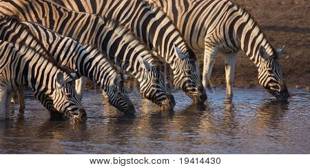 Herd of zebras drinking water in Etosha; Equus burchell's