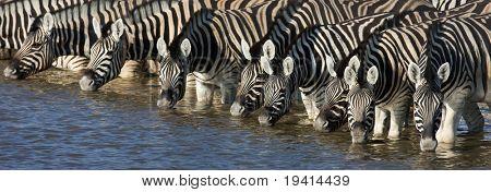 Panorama of zebra heads drinking water in Etosha; Equus burchell's