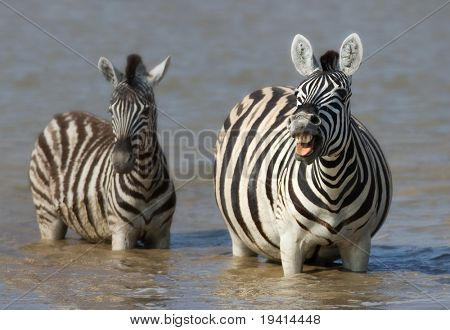Zebra cow (barking) and calf standing in water; Etosha; Equus burchell's