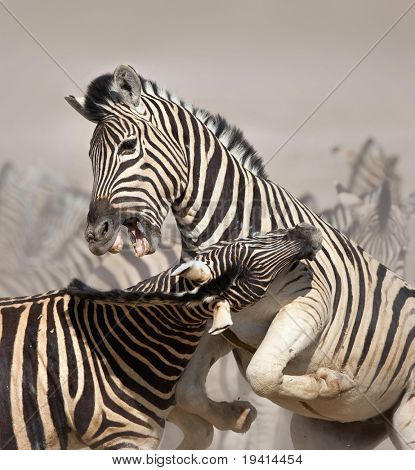 Close-up of two stallions fighting and biting ; Etosha; Equus burchell's