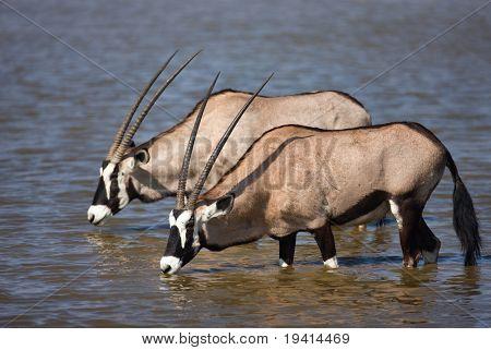 Dois antílopes Órix, estando em um poço para beber; Etosha; Oryx gazella