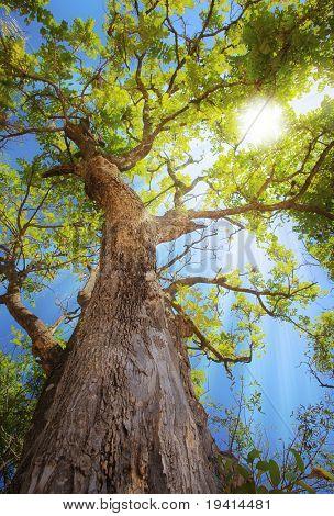 Rayos del sol por ramas de los árboles - vistos desde abajo