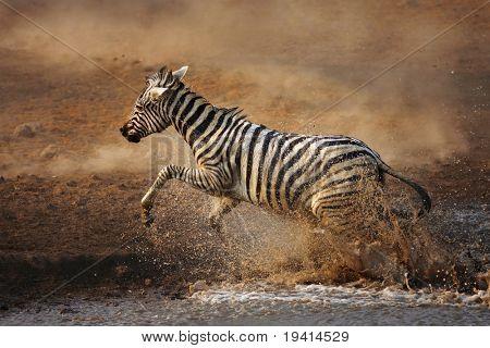 Frightened zebra fleeing from  waterhole ; Etosha