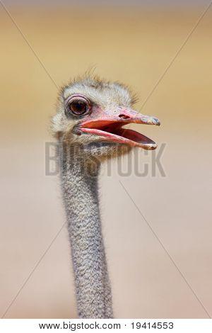 Close-up portrait of a male ostrich in Etosha