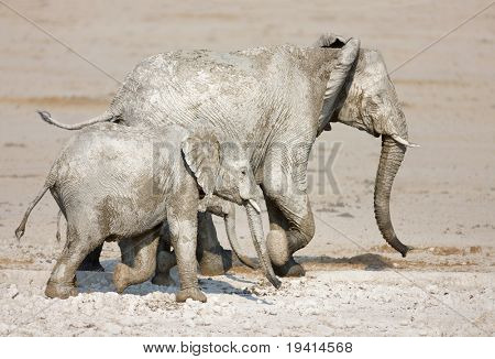 Mother elephant with two calves walking in Etosha desert (full of white mud)