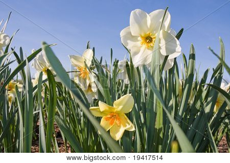 Daffodil flowers on a meadow in springtime