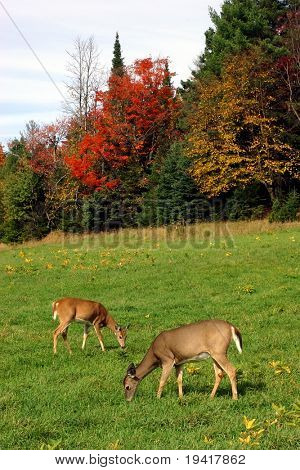 Two Deers Feeding on Grass