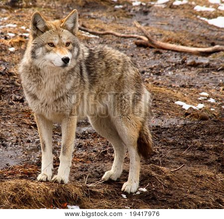 Coyote on a Spring Day