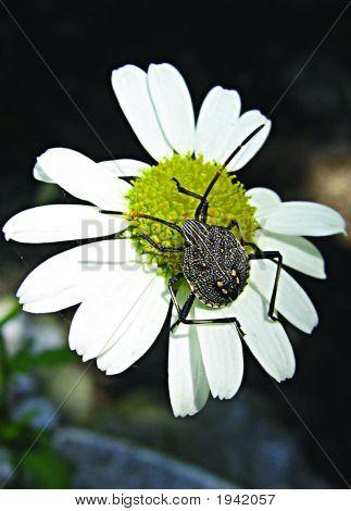 Bug  Daisy