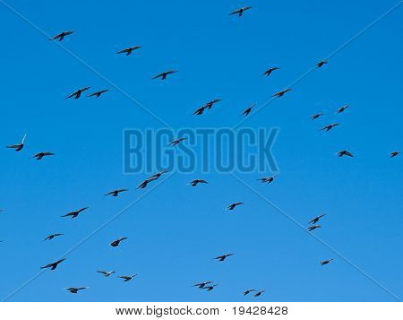 Flock of birds in midair with open wings against a clear blue sky.