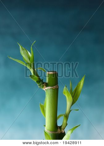 bamboo sprouts from bamboo cuttings on blue gradation background.