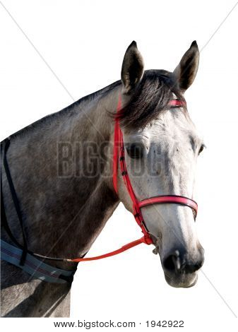 Grey Racehorse With Pink Bridle
