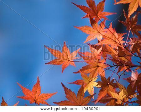 Japanisch-Herbstahorn geht gegen einen blauen Himmel.