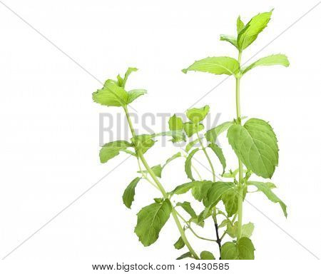 Spearmint plant isolated on white.