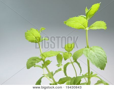 Mint plant shot from below on gray background.
