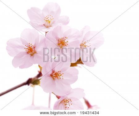 Cherry blossom flower isolated on white.