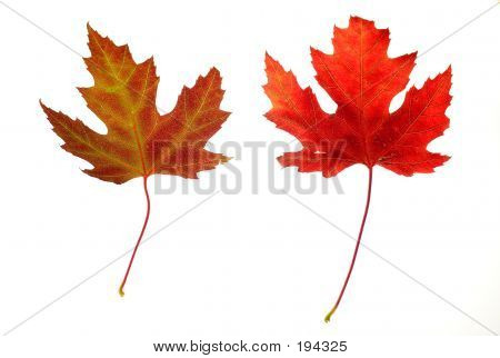 Maple Leaves On White