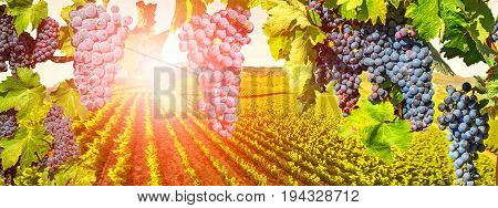 Branch of grapes