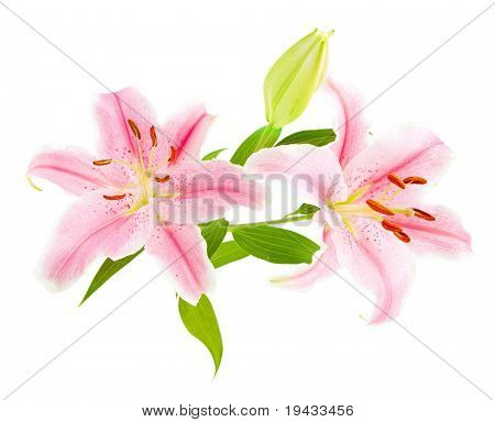 Pink lilies (lily / Lilium) isolated on white. Carefully shot so that it is completely floating in white background for ease of use..