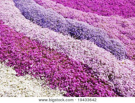 Lila Blütenteppich. Ein Feld von Moss Phlox Blumen.