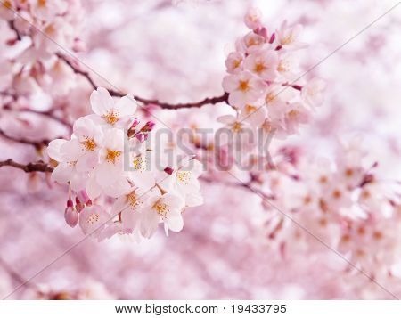 Pink cherry blossom in full bloom.
