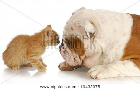 kitten and english bulldog nose to nose with reflection on white background