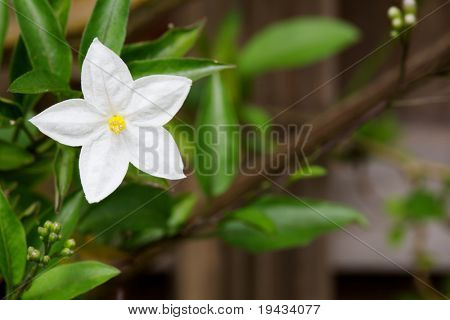 Single white and yellow potato vine flower with soft focus branch in background