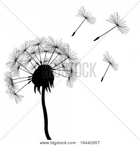 full dandelion in the wind