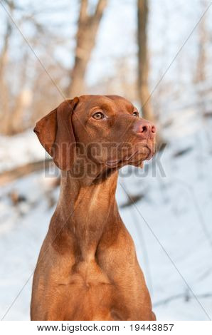 Vizsla Dog Portrait In Winter.