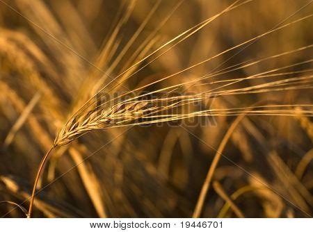 Grain ear on a field