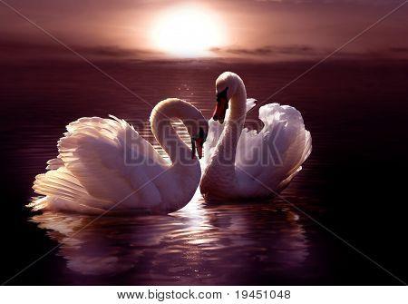 amorosos cisnes formando un corazón