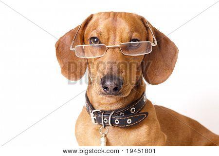 Perro Dachshund en gafas